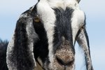 A Goat With a Cough & Clear Runny Nose