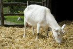 How to Increase Goat Milk Production