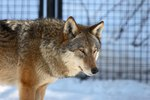 What Is a Gray Wolf's Diet?