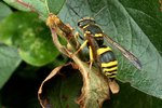 How to Tell the Difference Between Male & Female Wasps