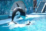 Baby Killer Whale Facts