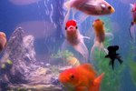 Why Do Fish Move Rocks in an Aquarium?