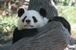 How Are Giant Pandas Different from Red Pandas?