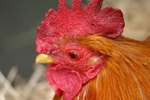 How to Care for Bantam Chickens
