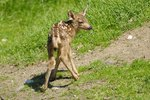 How to Cure Diarrhea in Fawns