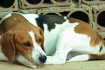 Facts About Beagle Dogs