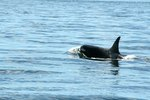 Whale & Orca Tours in Anacortes, Washington