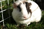 How to Remove Odor From Guinea Pigs