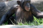 Predators of the Chimpanzee