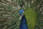 Information About the Peacock Bird