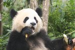 Animals That Live With the Giant Panda