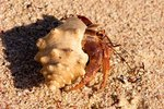 Facts on Hermit Crabs in Coral Reefs