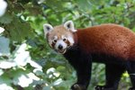 How the Red Panda Protects Itself