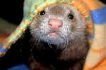 Can Ferrets Get Humans Sick?