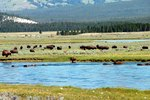 Wildlife Tours in Yellowstone National Park