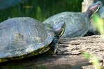 How to Find Freshwater Turtle Nests in the Wild