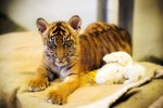 How to Raise Baby Tigers