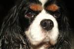 Cavalier King Charles Spaniel Haircut Tips