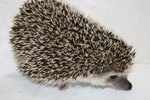 How Long Do Domesticated Hedgehogs Live?
