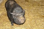 How to Trim a Pot-Bellied Pig's Feet