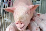 What Are the Treatments for Pinkeye in Swine?