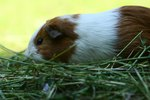 Itchy Skin on Guinea Pigs