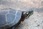 How to Care for Wild Painted Turtles
