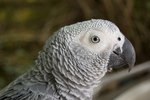 Diseases of African Grey Parrots