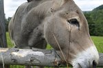Difference Between Burros & Miniature Donkeys