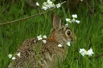 Do Cottontail Rabbits Hibernate?