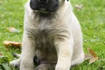 Potty Training a Mastiff Puppy