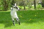 How to Identify and Treat White Muscle Disease in Goats