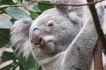 Animals That Eat Eucalyptus Leaves