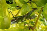 How Does a Praying Mantis Camouflage Into an Environment