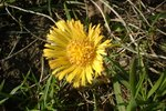 Dandelion Root for Dogs