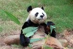 Life Span of a Giant Panda