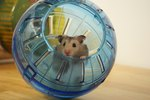 What Does It Mean When Your Hamster Just Runs Around in Circles All Day?