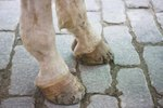 Can You Hurt a Horse's Hoof While Cleaning It?