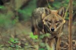 Reasons for Decline of the Red Wolf