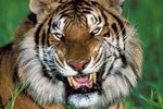 About the Turanian Tiger