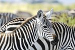 What Kind of Noise Does a Zebra Make?
