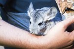 Signs a Chinchilla Is Giving Birth
