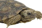What Is Needed for a Pet African Pancake Tortoise?