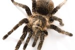 How to Tell the Age of a Tarantula