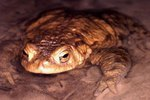 How to Keep a Couch's Spadefoot Toad As a Pet