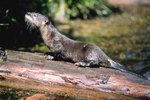 The River Otter's Adaptation to the Environment