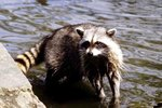How Do Raccoons Protect Their Young Babies?
