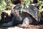 Physical Characteristics of the Giant Tortoise