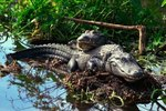 What Determines the Gender of an Alligator?