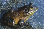 Differences in Pig Frogs & Bullfrogs